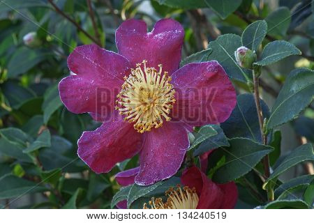 Sasangua camellia (Camellia sasangua). Flower with petals covered with hoarfrost