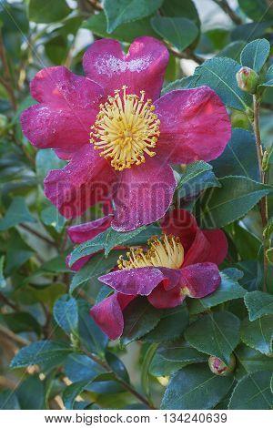 Sasangua camellia (Camellia sasangua). Pair of flowers