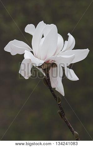 Star magnolia flower (Magnolia stellata). Another scientific name is Magnolia kobus var. stellata