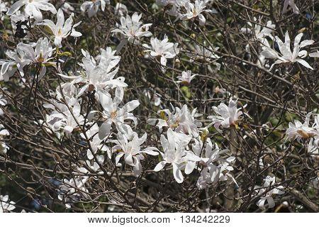 Star magnolia (Magnolia stellata). Another scientific name is Magnolia kobus var. stellata