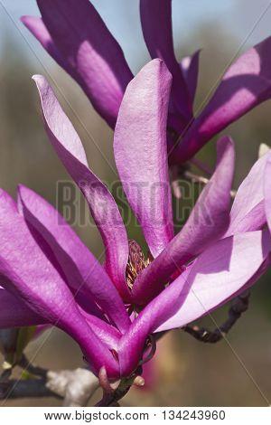 Girl hybrid magnolia Ann flower (Magnolia x hybrid Ann). Hybrid between Magnolia liliiflora and Magnolia stellata