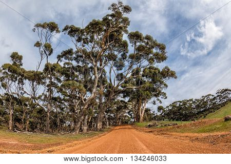 Australia Red Road In Eucalyptus Forest On Sunny Day