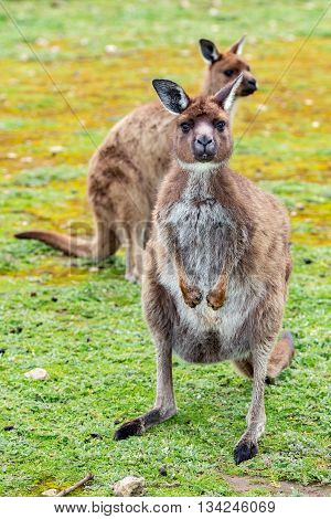 Kangaroo Looking At You On The Grass Background