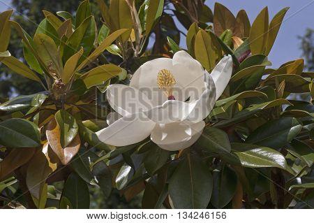 Southern magnolia Exmouth flower (Magnolia grandiflora Exmouth)