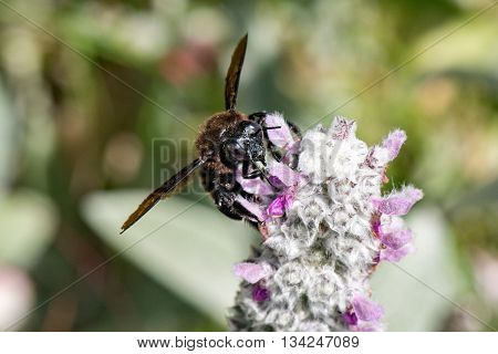 Black Hornet While Sucking Pollen From Lamb's Ear