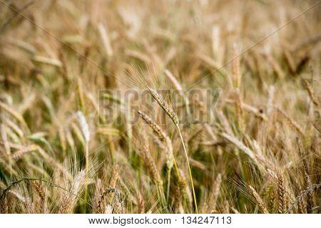 Mature Grain Wheat Field Spike Ear Head
