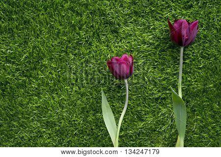 Impressive Tulip with dark purple smoky blooms