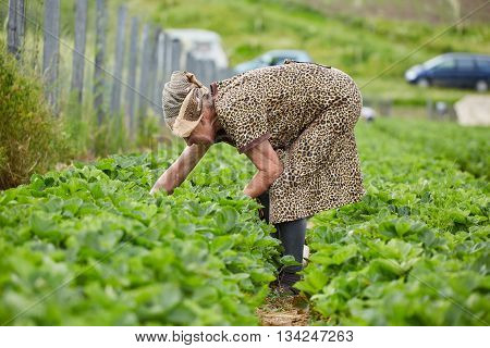 Old Woman Picking Strawberries