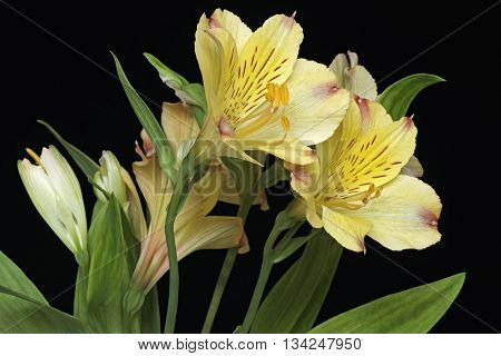 Peruvian lily (Alstroemeria x hybrid). Called Lily of the Incas also. Image of flowers isolated on black background