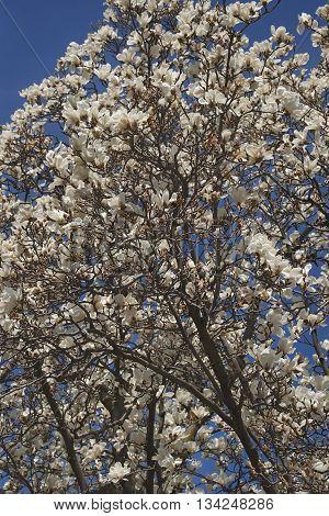 Yulan magnolia (Magnolia denudata). Called Lilytree also. Another scientific name is Yulania denudata