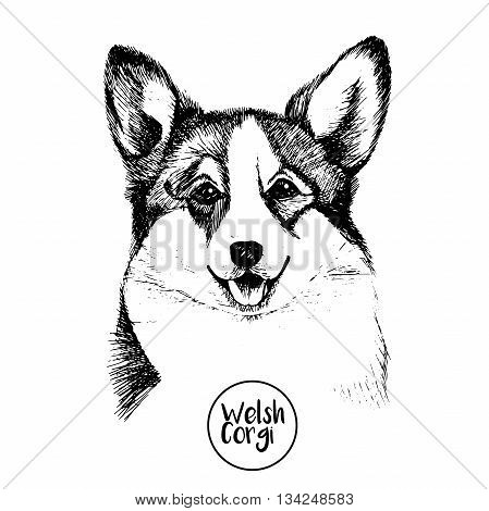Vector close up portrait of welsh corgi pembroke . Hand drawn domestic pet dog illustration. Isolated on white background.
