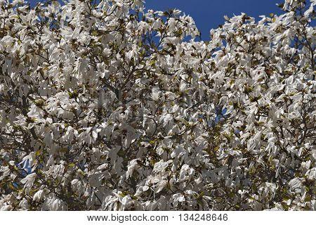 Wada's memory magnolia (Magnolia x kewensis Wada's Memory)