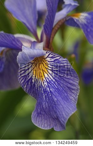 Siberian iris (Iris sibirica). Close up image of flower