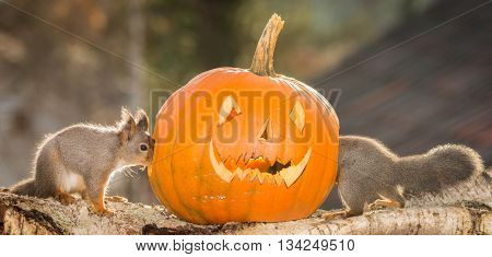 red squirrels on tree trunk with pumpkin head
