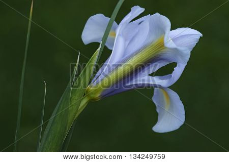 Dutch iris (Iris xiphium). Called Spanish iris also. Another scientific names are Iris lusitanica and Iris x hollandica. Lateral view of light blue flower