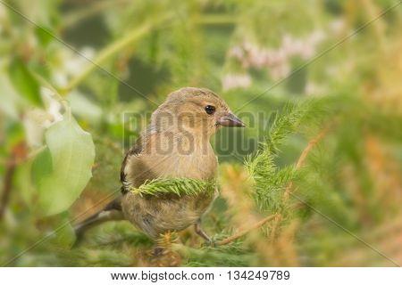 young male bullfinch between moss  in sun light