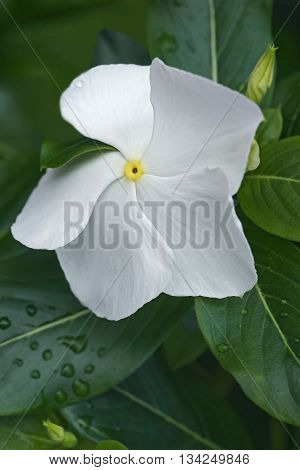 Madagscar periwinkle (Catharanthus roseus). Called Rosy periwinkle and Vinca also. Close up image of white flower