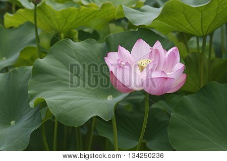 Sacred lotus (Nelumbo nucifera). Called Indian Lotus Bean of India and Lotus also. General view of plant