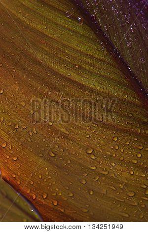 Rain droplets on canna leaf (Canna x generalis)