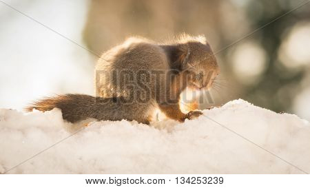 red squirrel on snow with itch  in sun light