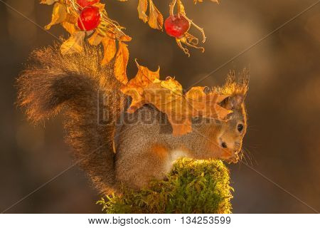 close up of red squirrel under leaves and brier