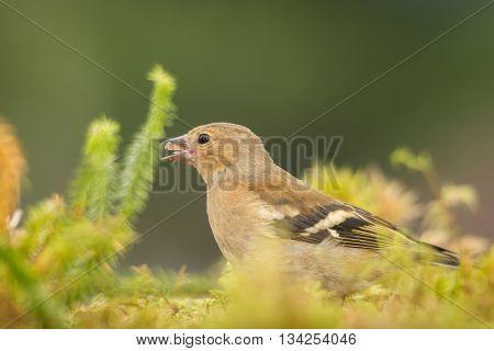 young bullfinch standing between moss  in sun light