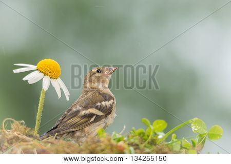 young bullfinch standing between flowers while raining
