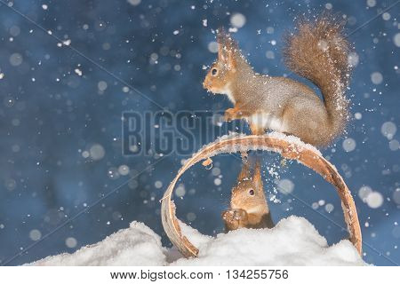 red squirrels standing with circle in snow storm
