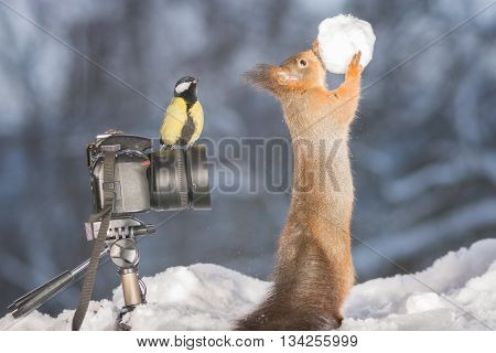 red squirrel with snowball and camera with titmouse in snow