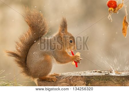 close up of red squirrel on wood with peanut brier and drops