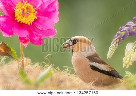 Hawfinch is standing between flowers  in sun light