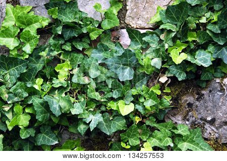 The old wall overgrown with green ivy
