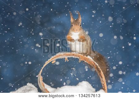red squirrel standing with circle in snow storm