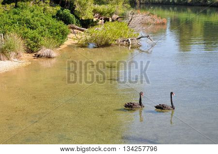 Two black swans on the lake in Skiathos