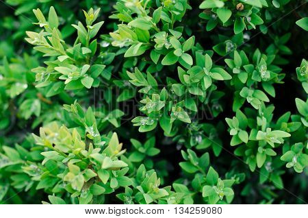 Green bush leaves wall background in the garden