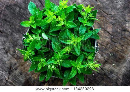 Fresh Herb Marjoram  On Wooden Background