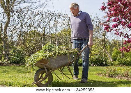 Senior man gardener with full barrow in garden sun shine