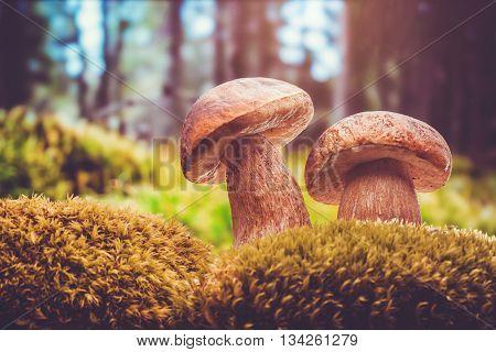closeup of boletus mushroom in the moss. porcini