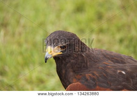 The Head of a Harris Hawk Bird of Prey.