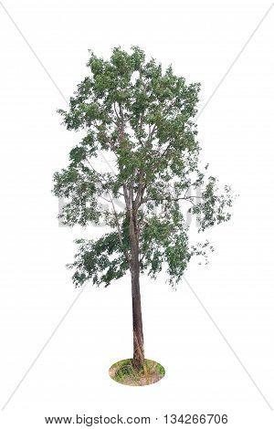 Isolated Deciduous Tree