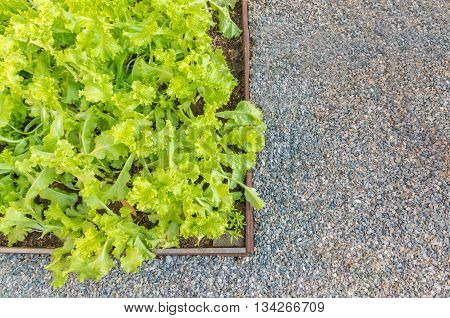 Lettuce grown in a wooden surrounded by a gravel tray.