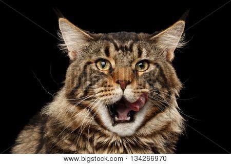 Closeup Portrait of Maine Coon Cat Face in Front view Looking in Camera and Licked, Isolated on Black Background