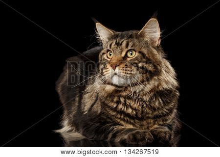 Maine Coon Cat Lying on Mirror and Looks at Side Isolated on Black Background