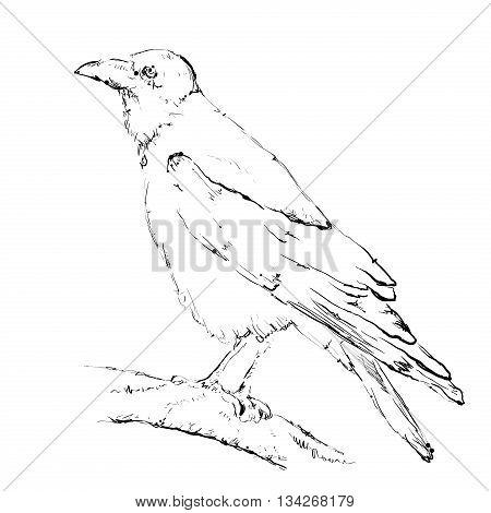 Hand drawn crow jn a branch. Birds doodles sketch.