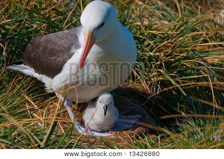Albatross Mother With Chick