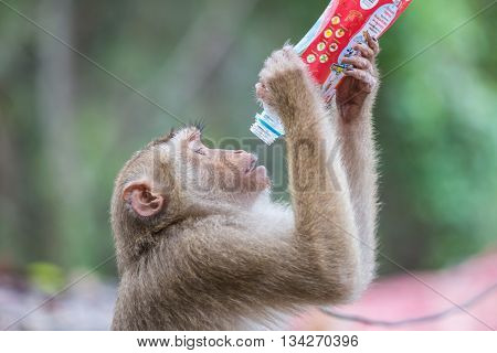 Phuket, Thailand - May 26 : A Monkey Holding And Drinking Softdrink In The Park At To Sae Hill In Ph