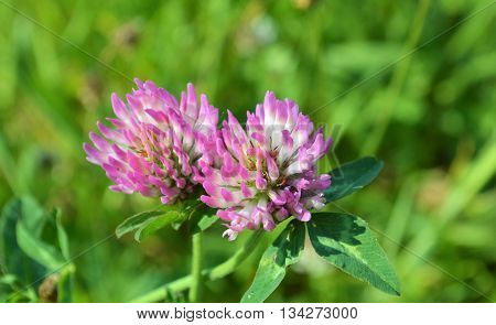 Close-up image of Red Clover (Trifolium  pratense).