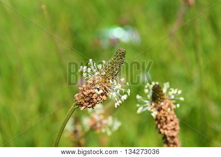 Close-up image of Ribwort Plantain (Plantago lanceolata).