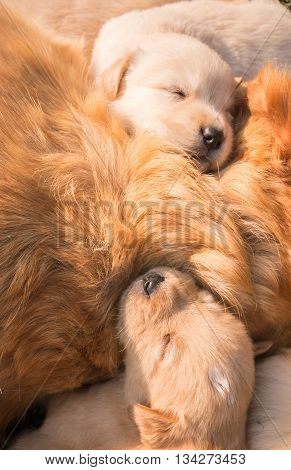 The Golden puppy is sleeping in his mother's side in the sunshine.