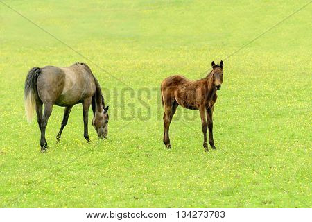 A newborn foal and its mother grazing in a field in summer.
